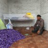 برداشت زعفران در منطقه زاوه تربت حیدریه