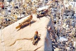 معاون جهاد کشاورزی خوزستان : گرما بر ملخ ها اثری ندارد