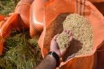 نماینده خوزستان در شورای مرکزی خانه کشاورز : دلالان در بازار برنج خوزستان جولان می دهند