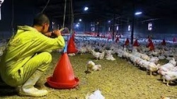 گزارش نسيم از فعاليت دلالاني كه در سايه بيخيالي مسئولان، براي بازار نرخ تعيين مي كنند ؛ مافيا در خوزستان مرغداران را به زانو درآورده است