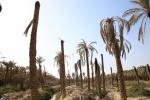 نابودی نخلستانهای خوزستان با انتقال آب به اصفهان ؛ کارون بزرگ به نهری کوچک  تبدیل می شود