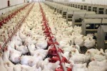 افزایش شیوع بیماریها در مرغداریهای خوزستان/ خوزستان در ماه آینده با مشکل کمبود مرغ مواجه خواهد شد